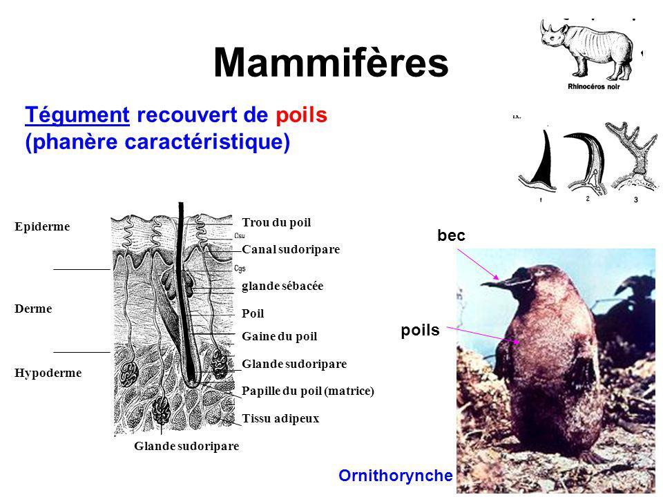 Mammifères Tégument recouvert de poils (phanère caractéristique) bec