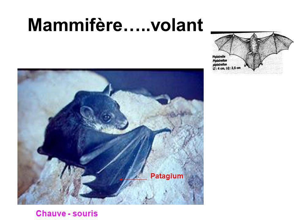 Mammifère…..volant Patagium Chauve - souris