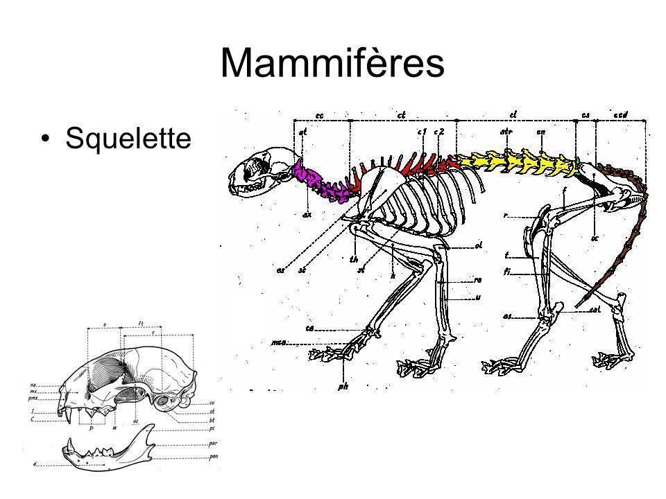 Mammifères Squelette