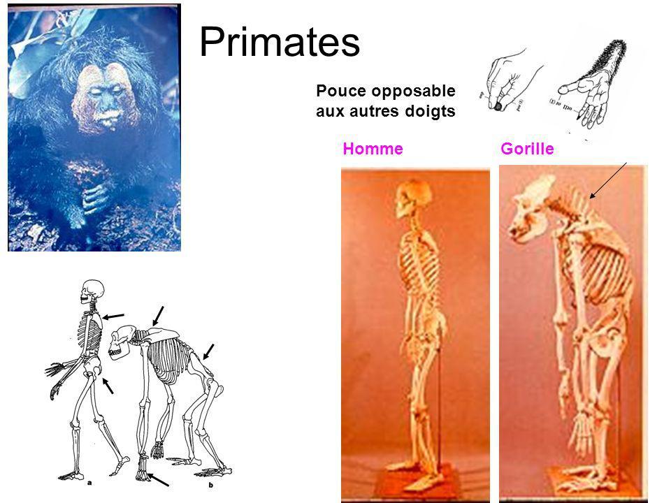 Primates Pouce opposable aux autres doigts Homme Gorille