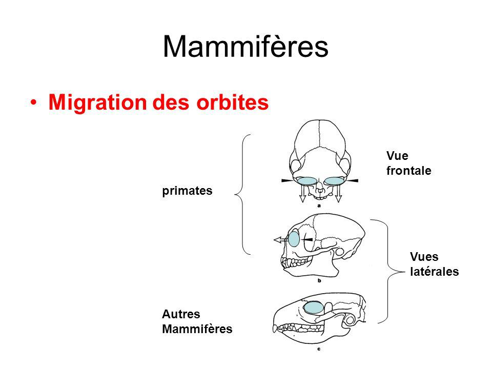 Mammifères Migration des orbites Vue frontale primates Vues latérales