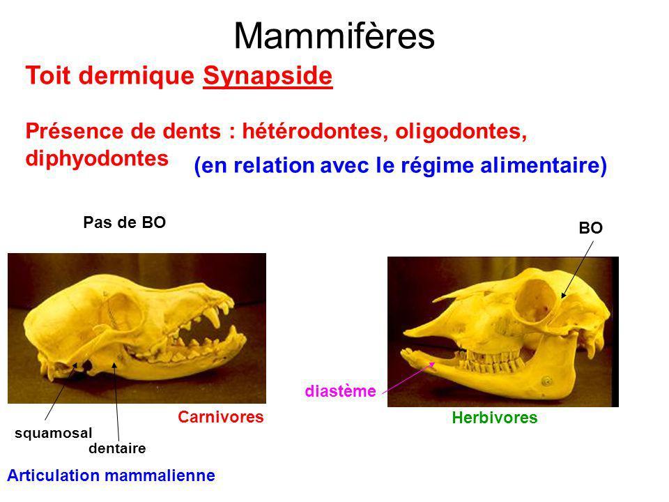 Mammifères Toit dermique Synapside