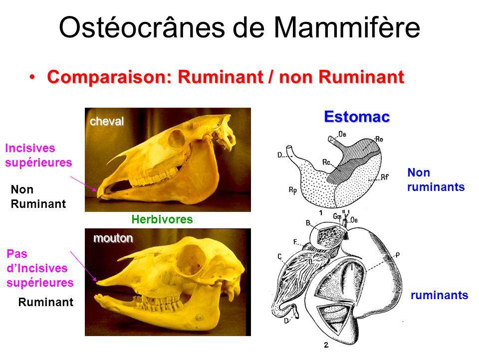 Ostéocrânes de Mammifère