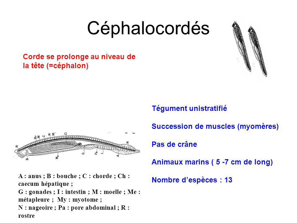 Céphalocordés Corde se prolonge au niveau de la tête (=céphalon)