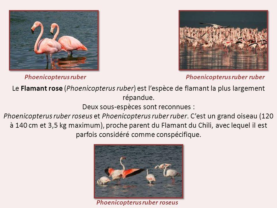 Deux sous-espèces sont reconnues :