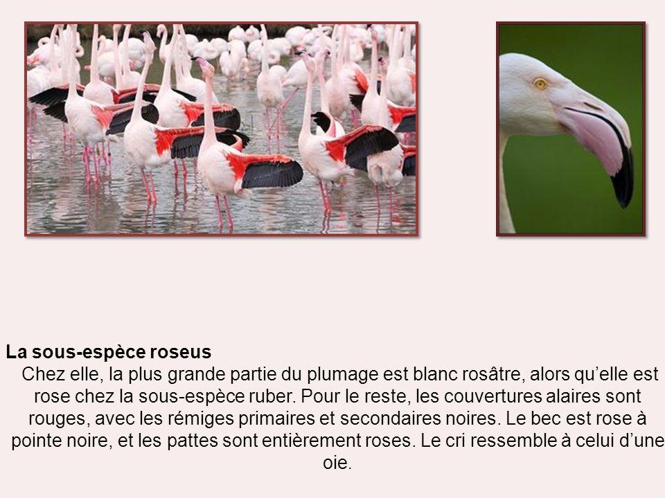 La sous-espèce roseus