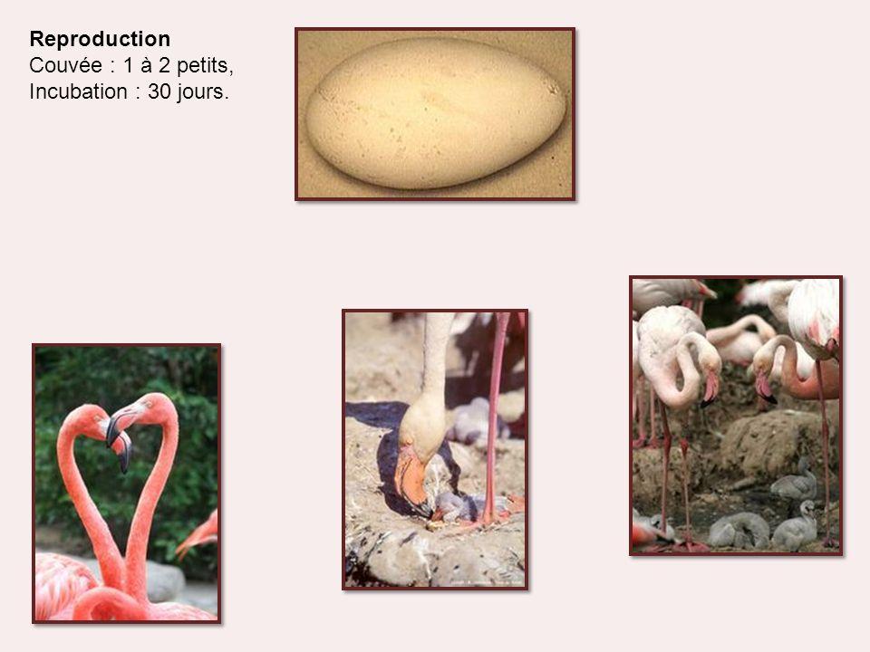 Reproduction Couvée : 1 à 2 petits, Incubation : 30 jours.