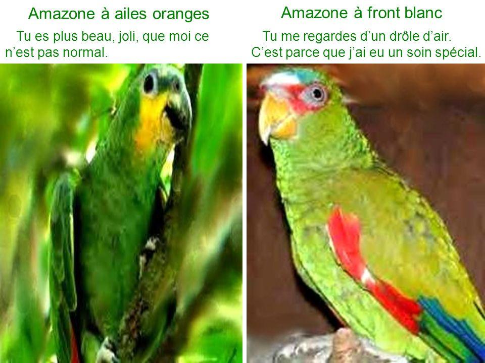 Amazone à ailes oranges
