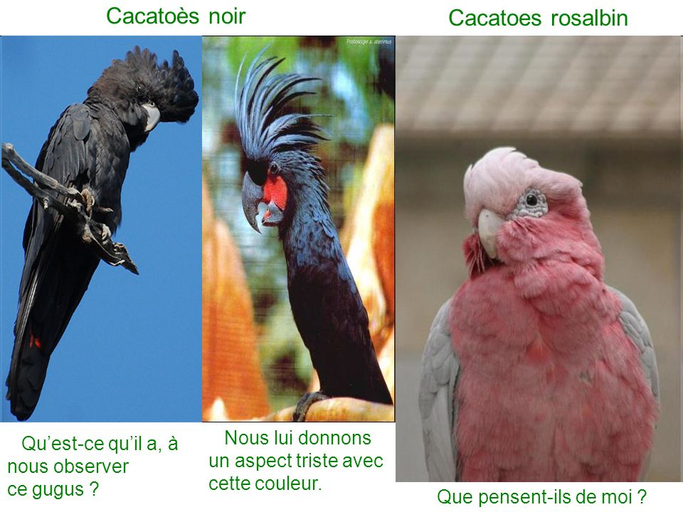 Cacatoès noir Cacatoes rosalbin
