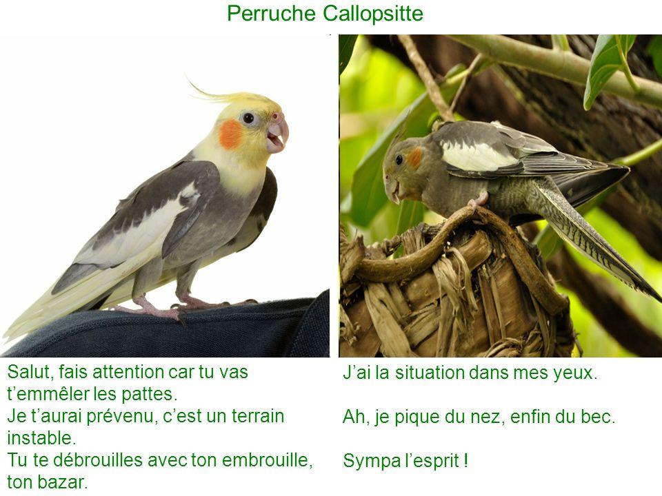 Perruche Callopsitte Salut, fais attention car tu vas t'emmêler les pattes. Je t'aurai prévenu, c'est un terrain instable.