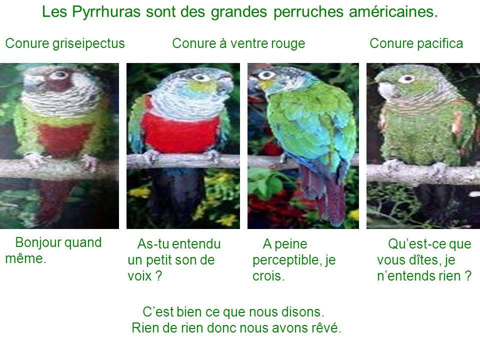 Les Pyrrhuras sont des grandes perruches américaines.
