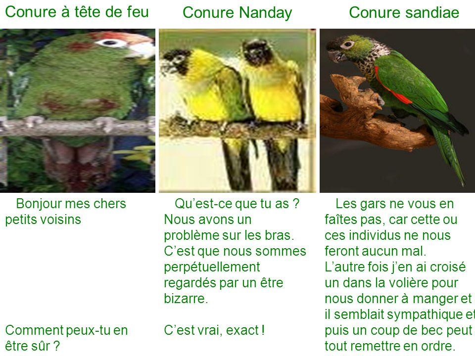Conure à tête de feu Conure Nanday Conure sandiae