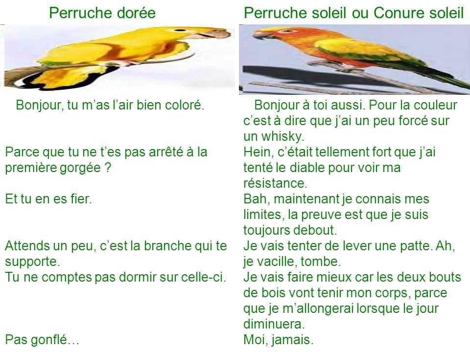 Perruche dorée Perruche soleil ou Conure soleil
