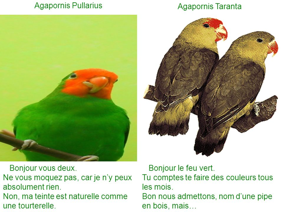 Agapornis Pullarius Agapornis Taranta. Bonjour vous deux. Ne vous moquez pas, car je n'y peux absolument rien.