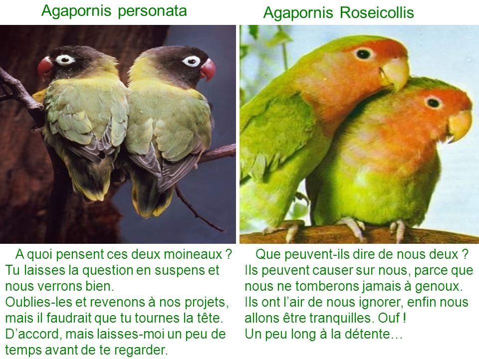 Agapornis Roseicollis