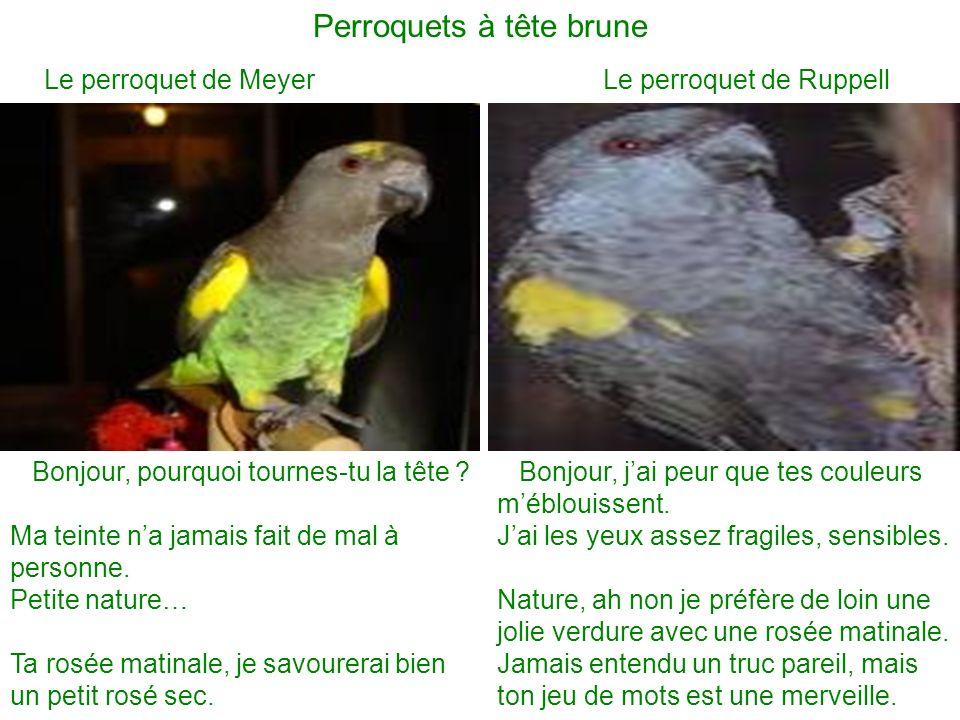 Perroquets à tête brune
