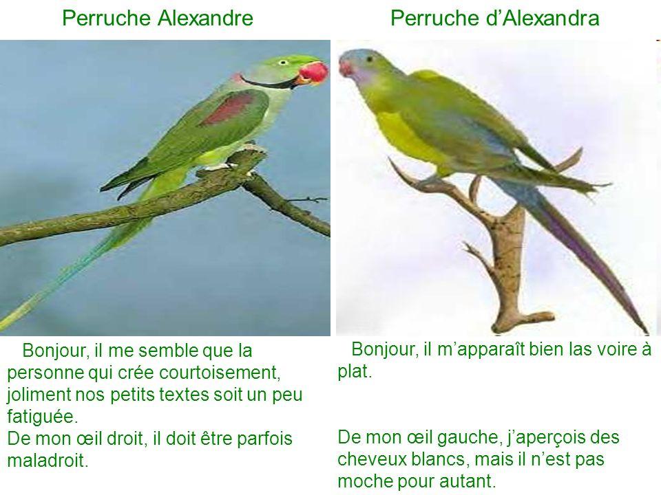 Perruche Alexandre Perruche d'Alexandra