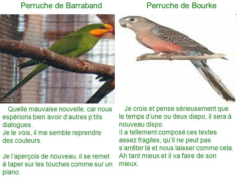 Perruche de Barraband Perruche de Bourke