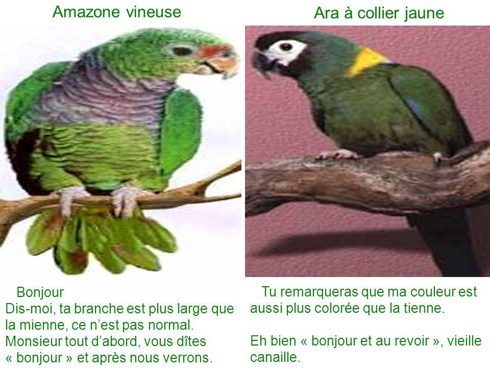 Amazone vineuse Ara à collier jaune Bonjour