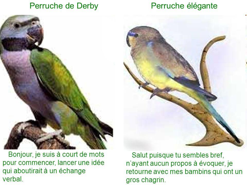 Perruche de Derby Perruche élégante