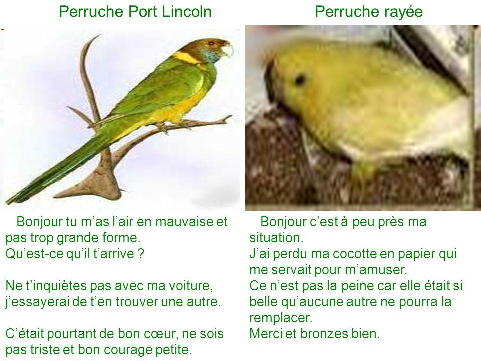 Perruche Port Lincoln Perruche rayée