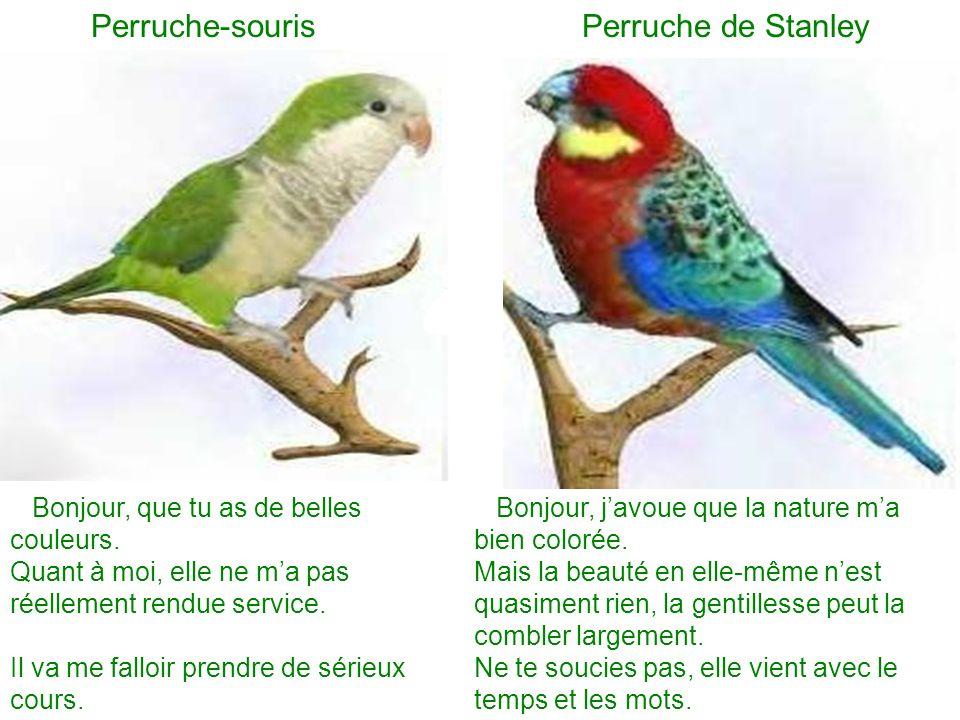 Perruche-souris Perruche de Stanley