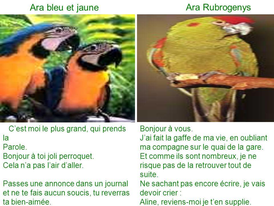 Ara bleu et jaune Ara Rubrogenys Parole. Bonjour à toi joli perroquet.