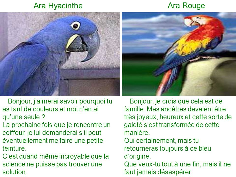 Ara Hyacinthe Ara Rouge