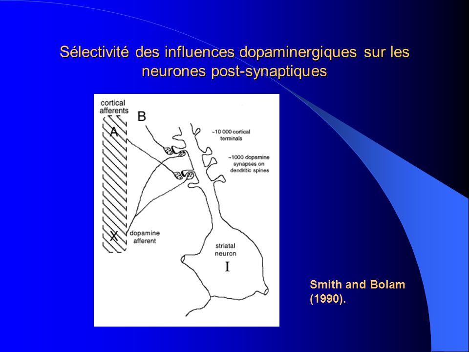Sélectivité des influences dopaminergiques sur les neurones post-synaptiques