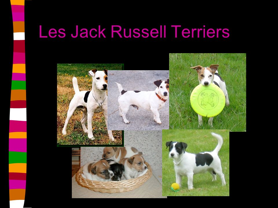 Les Jack Russell Terriers
