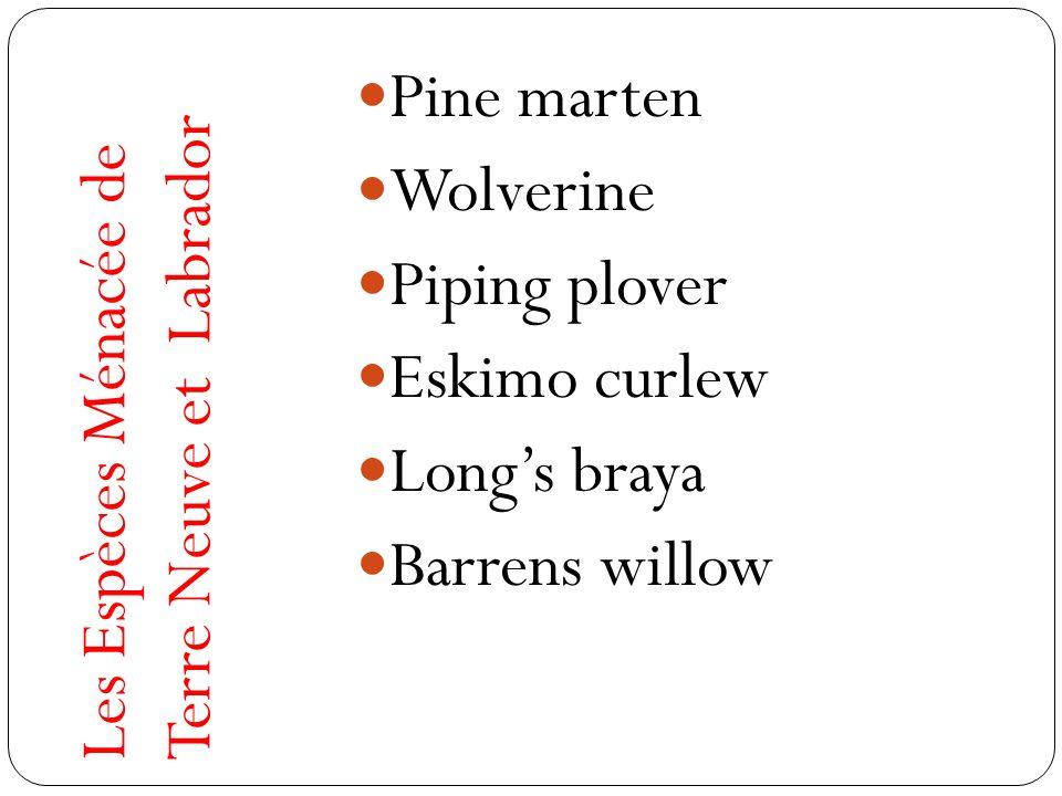 Pine marten Wolverine. Piping plover. Eskimo curlew.