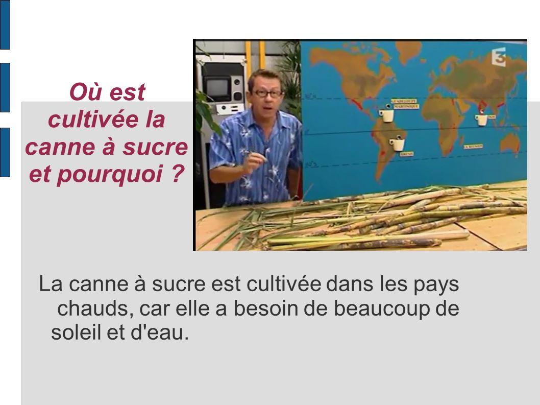 Où est cultivée la canne à sucre et pourquoi