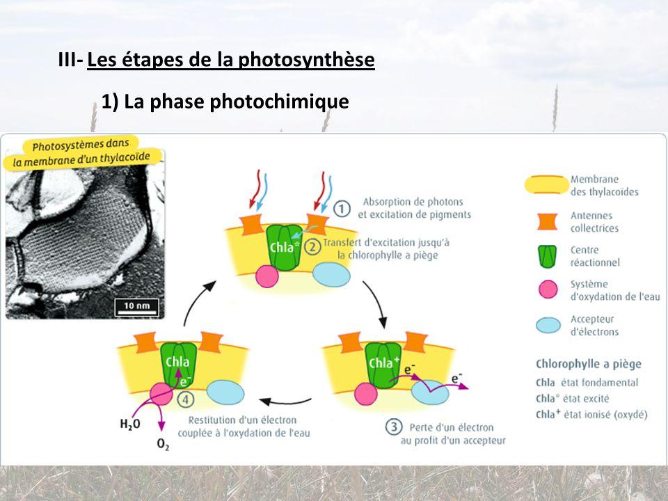 III- Les étapes de la photosynthèse