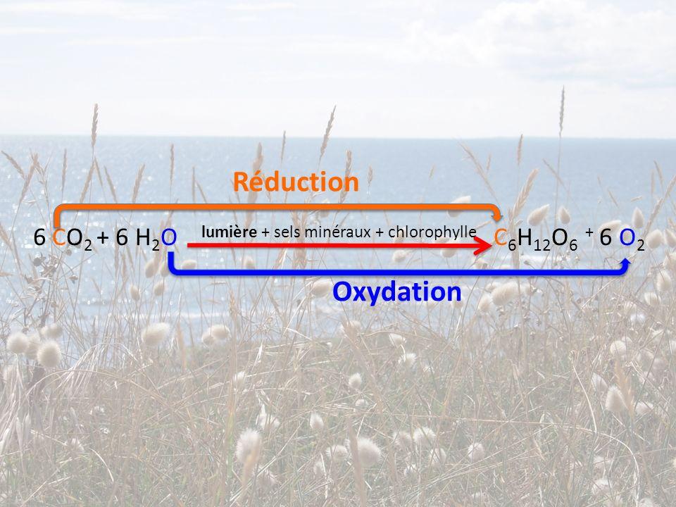 Réduction 6 CO2 + 6 H2O lumière + sels minéraux + chlorophylle C6H12O6 + 6 O2 Oxydation