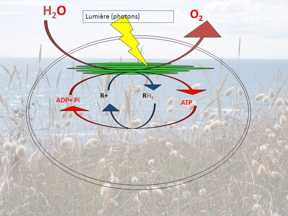 H2O O2 Lumière (photons) R+ RH2 ADP+ Pi ATP
