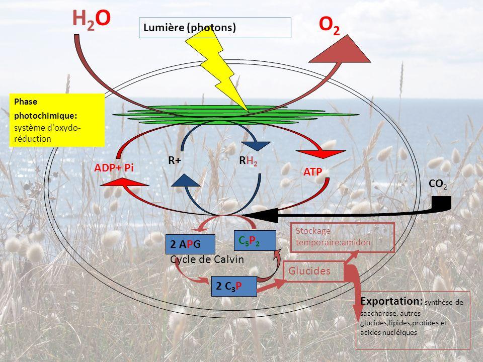 H2O O2 Lumière (photons) R+ RH2 ADP+ Pi ATP CO2 C5P2 2 APG
