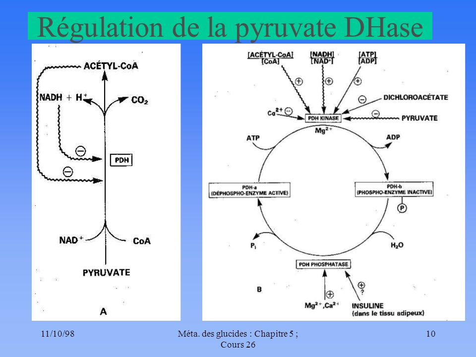 Régulation de la pyruvate DHase