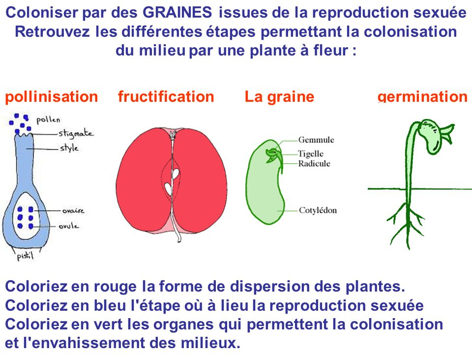 Coloniser par des GRAINES issues de la reproduction sexuée