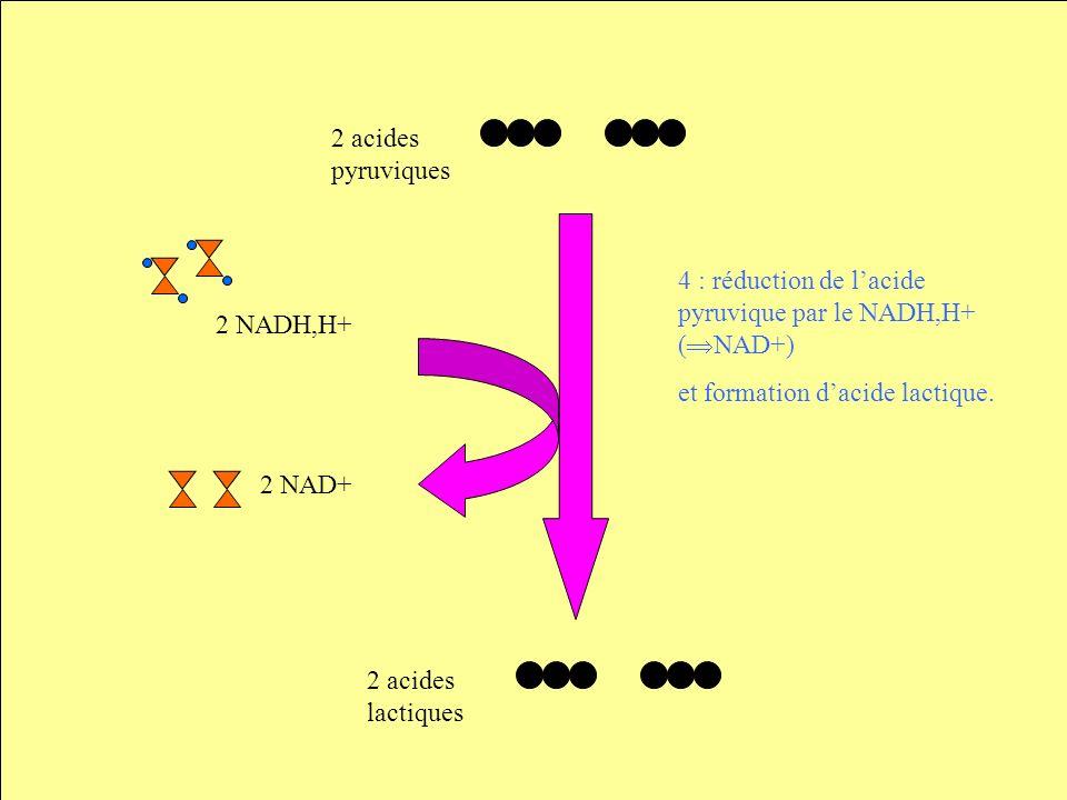 2 acides pyruviques 2 NADH,H+ 4 : réduction de l'acide pyruvique par le NADH,H+ (NAD+) et formation d'acide lactique.