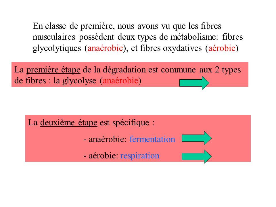 En classe de première, nous avons vu que les fibres musculaires possèdent deux types de métabolisme: fibres glycolytiques (anaérobie), et fibres oxydatives (aérobie)