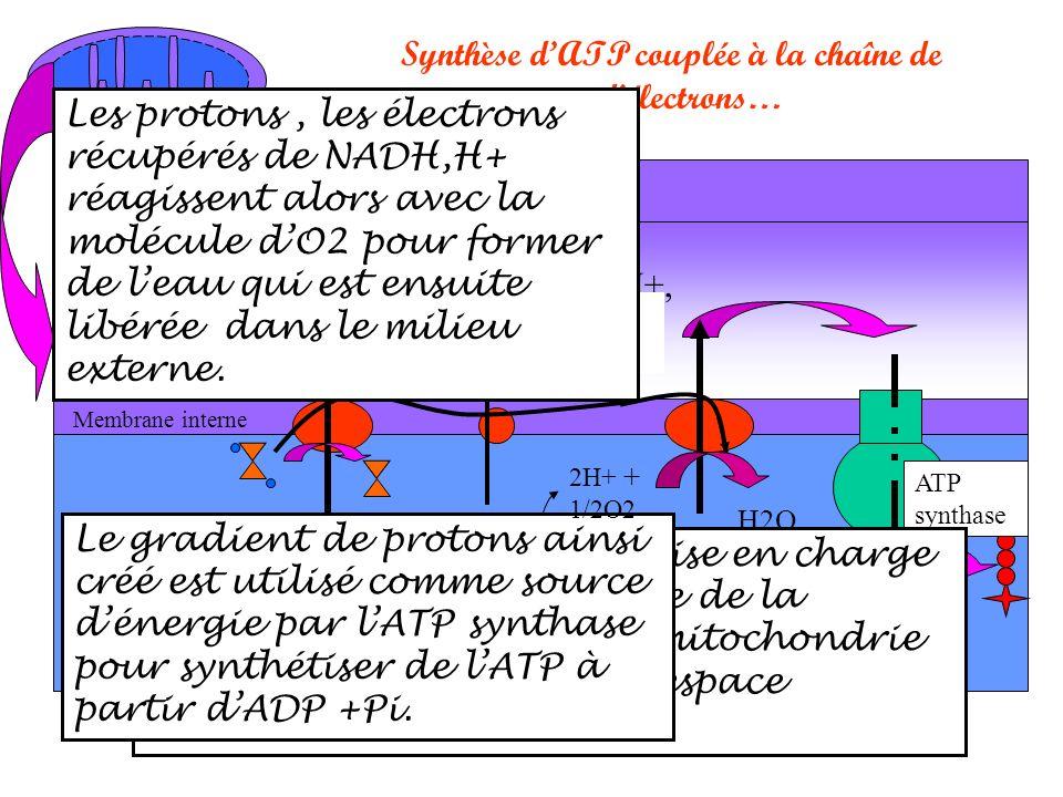 Synthèse d'ATP couplée à la chaîne de transporteurs d'électrons…