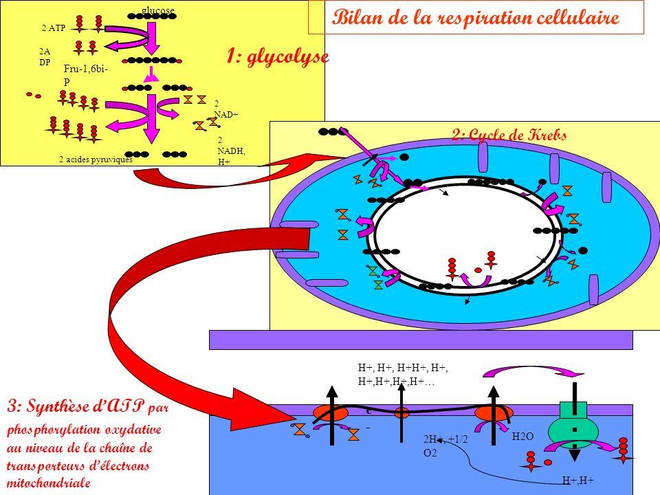 Bilan de la respiration cellulaire