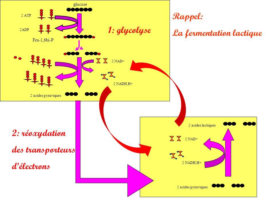 La fermentation lactique