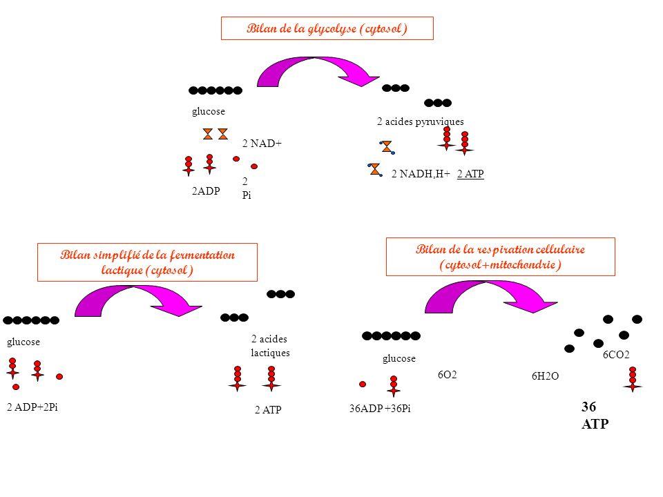 36 ATP Bilan de la glycolyse (cytosol)