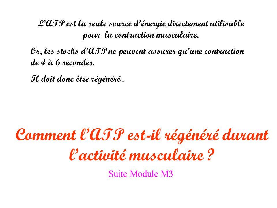 Comment l'ATP est-il régénéré durant l'activité musculaire