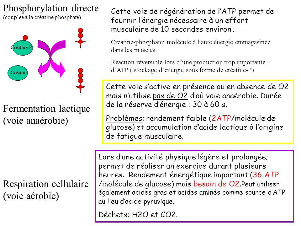 Phosphorylation directe (couplée à la créatine phosphate)