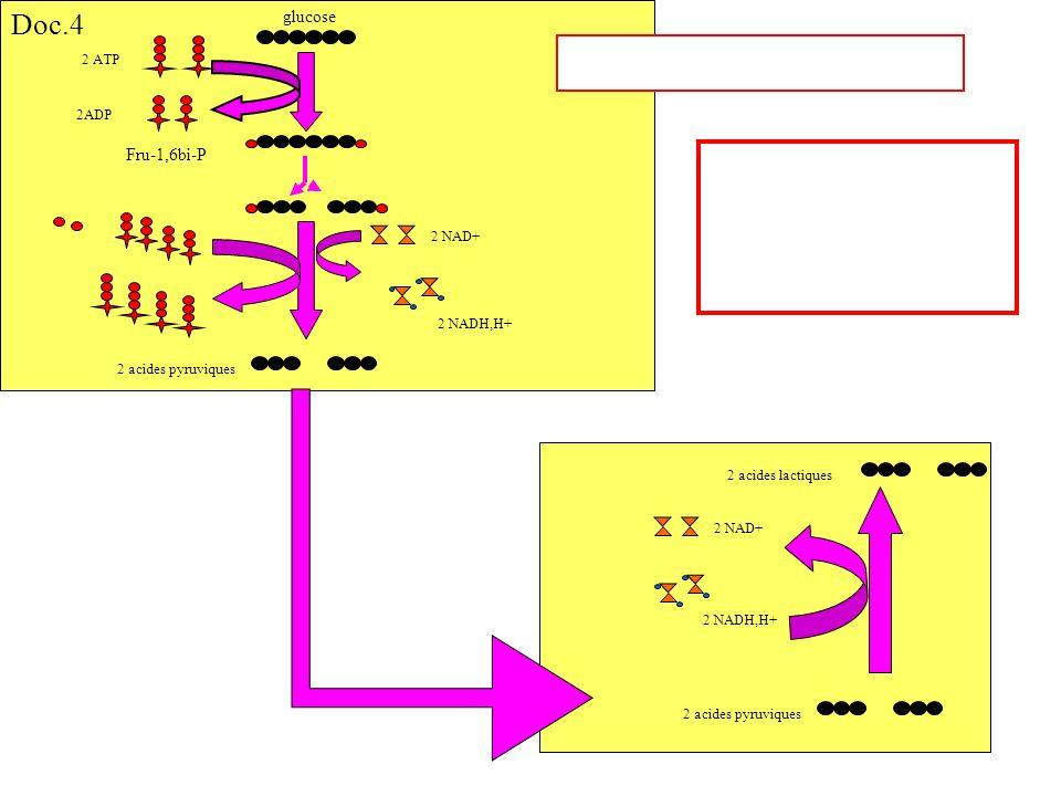Doc.4 glucose Fru-1,6bi-P 2 ATP 2ADP 2 NAD+ 2 NADH,H+