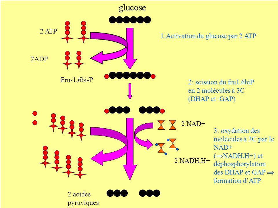 glucose 2 ATP 1:Activation du glucose par 2 ATP 2ADP Fru-1,6bi-P