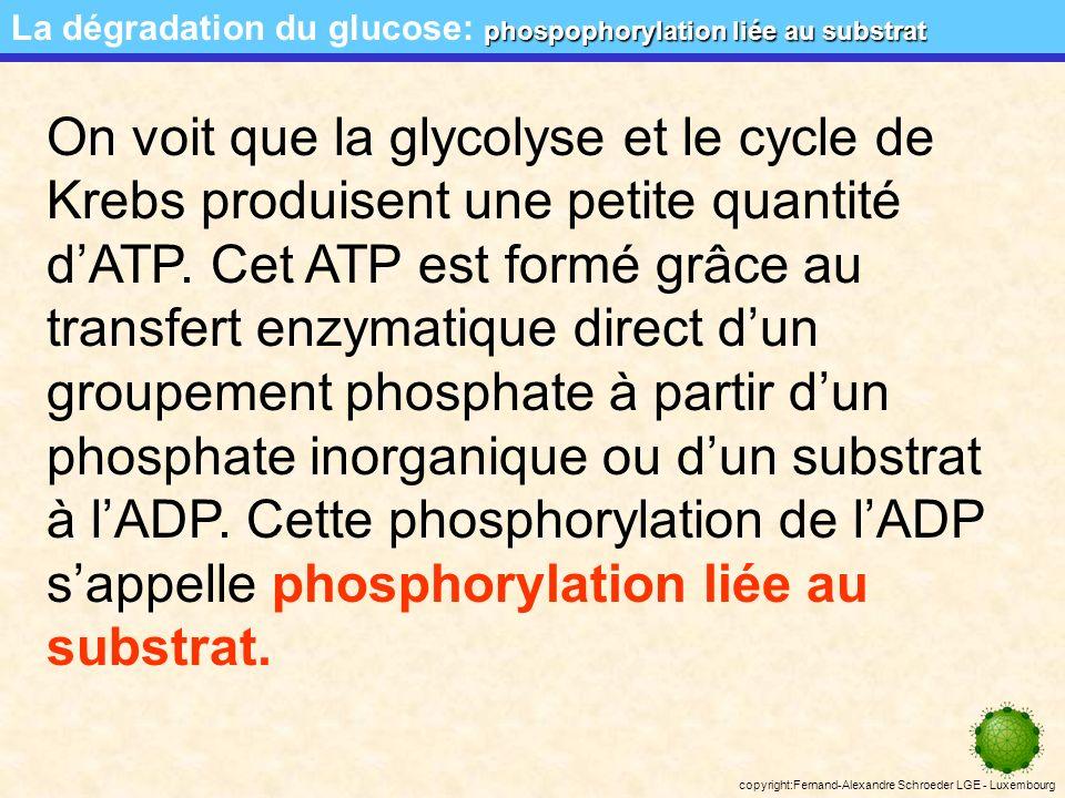 La dégradation du glucose: phospophorylation liée au substrat