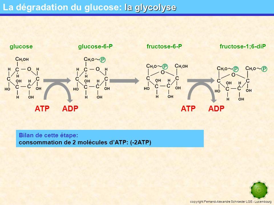 La dégradation du glucose: la glycolyse
